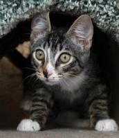 Neurological kitten named Tumbles
