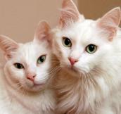 Two white neurological felines