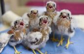 The five nestling American kestrels (baby raptors)