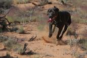 Black dog running at Best Friends Animal Sanctuary