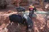 Brooke Alexander volunteering with the pigs